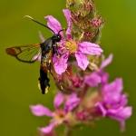 Synanthedon formicaeformis - Wilgenwespvlinder