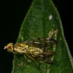 Terellia tussilaginis - Gele klitboorvlieg