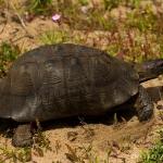 Ordo Testudines - Schildpadden