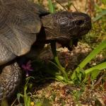 Familia Testudinidae - Landschildpadden