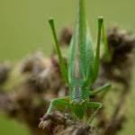 Tettigonia viridissima - Grote Groene Sabelsprinkhaan