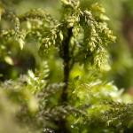 Thamnobryum alopecurum - Struikmos