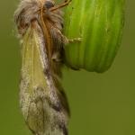 Thaumetopoea pityocampa - Dennenprocessievlinder