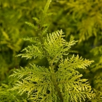 Thuidium tamariscinum - Gewoon thujamos