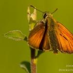 Thymelicus acteon - Dwergdikkopje