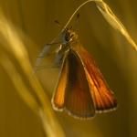 Thymelicus lineola - Zwartsprietdikkopje