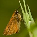 Thymelicus sylvestris - Geelsprietdikkopje