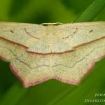 Familia Geometridae - Spanners