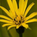 Tragopogon pratensis - Gele morgenster