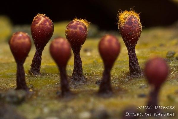 Trichia botrytis - Zwart Draadwatje