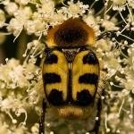 Trichius fasciatus - Penseelkever