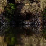 Troglodytes troglodytes - Winterkoning