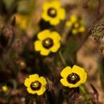 Tuberaria guttata - Gevlekt zonneroosje