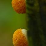 Tubulifera arachnoidea - Rossig buiskussen