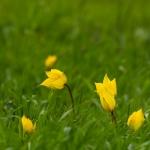 Tulipa sylvestris - Bostulp