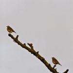 Turdus iliacus - Koperwiek