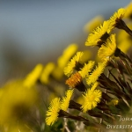 Tussilago farfara - Klein hoefblad