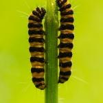 Tyria jacobaeae - Sint-jacobsvlinder
