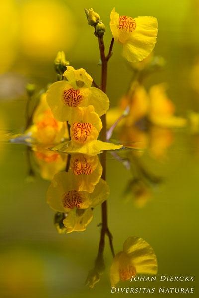 Utricularia australis - Loos blaasjeskruid
