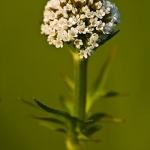 Valeriana dioica - Kleine valeriaan