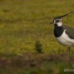 Familia Charadriidae - Kieviten en Plevieren