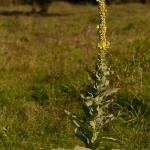 Verbascum thapsus - Koningskaars