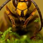 Vespa crabro - Hoornaar