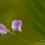 Vicia tetrasperma - Vierzadige wikke