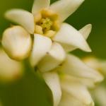 Vincetoxicum hirundinaria - Witte engbloem