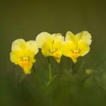 Viola lutea - Vogezenviooltje