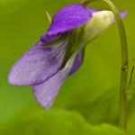 Viola riviniana - Bleeksporig bosviooltje