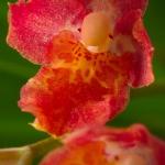 ×Howeara 'Lava Burst' 'Red Bug'