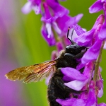 Xylocopa violacea - Blauwzwarte Houtbij