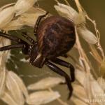 Xysticus cristatus - Gewone Krabspin