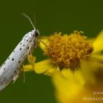 Familia Yponomeutidae - Stippelmotten
