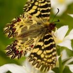 Zerynthia polyxena - Zuidelijke pijpbloemvlinder