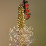 Zygaena carniolica - Oogvlek-sint-jansvlinder