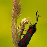 Familia Zygaenidae - Bloeddrupjes