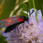 Zygaena trifolii - Vijfvlek-sint-jansvlinder